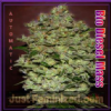 Advanced Auto Bio Diesel Mass Fem 3 Ganja Seeds
